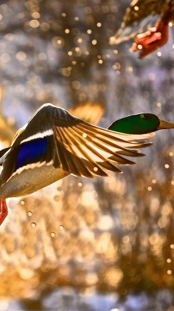 Duck, flight, drops, sun (vertical)