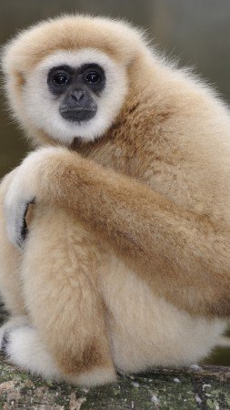 Nomascus, cute animals, monkey, funny (vertical)