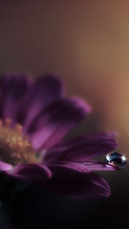 Gerbera, flower, dew
