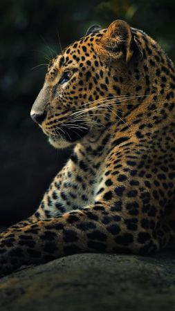 Leopard, look, cute animals (vertical)