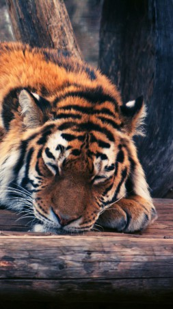 Tiger, cute animals, funny (vertical)