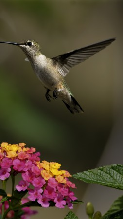 colibri, flowers, flight, blur (vertical)