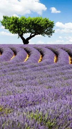 Lavender field, 4k, HD wallpaper, Provence, France, Meadows, lavender, tree, sky (vertical)