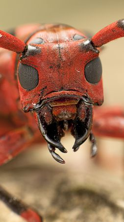 Messor structor, ant, macro (vertical)