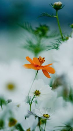 Flowers, 4k, HD wallpaper, 8k, daisies, cosmos flower, white, orange (vertical)