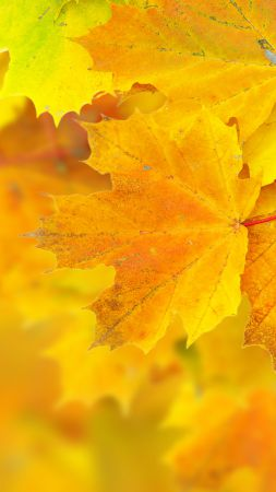 Leaves, 5k, 4k wallpaper, 8k, maple, macro, yellow (vertical)