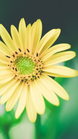 Daisies, 4k, HD wallpaper, flowers, macro, yellow (vertical)