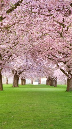 Trees, 4k, HD wallpaper, blossom, park, pink (vertical)