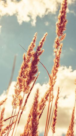 Wheat, 4k, HD wallpaper, meadows, sky (vertical)