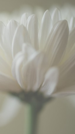 Aster, 5k, 4k wallpaper, macro, petals, white (vertical)