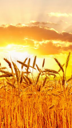 Wheat, 5k, 4k wallpaper, meadows, sunset (vertical)