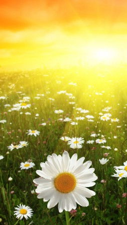 Daisies, 5k, 4k wallpaper, 8k, meadows, sunset (vertical)
