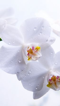 Orchid, flowers, macro, white