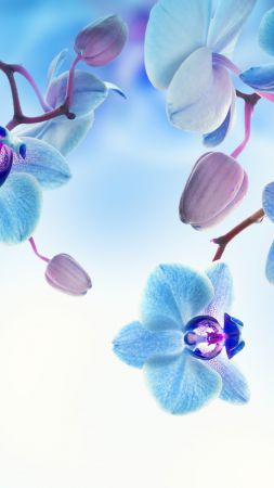 Orchid, 5k, 4k wallpaper, flowers, blue, white (vertical)