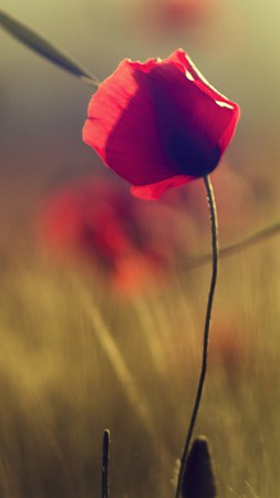Poppy, 5k, 4k wallpaper, flowers, blur (vertical)