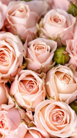 Roses, 5k, 4k wallpaper, 8k, flowers, pink (vertical)
