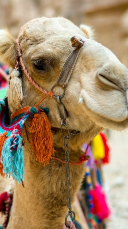 Camel, cute animals, funny (vertical)