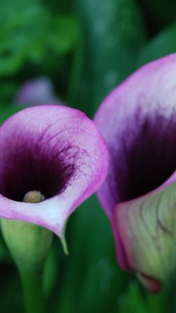 Calla, 5k, 4k wallpaper, flowers, purple (vertical)