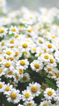 Daisies, 5k, 4k wallpaper, flowers, spring (vertical)