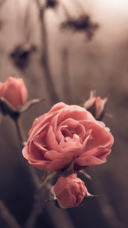 Rose, spring, flowers, blur