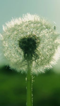 Dandelion, 5k, 4k wallpaper, flowers, macro (vertical)