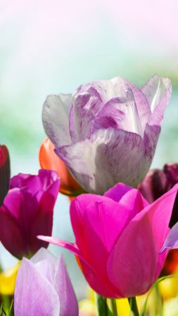 Tulips, 5k, 4k wallpaper, flowers, pink, purple (vertical)