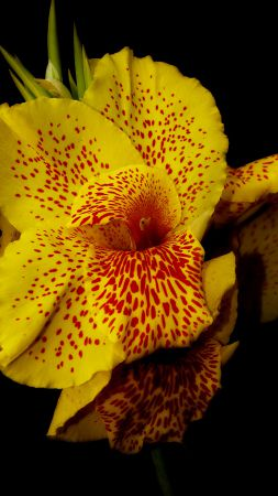 Canna, 5k, 4k wallpaper, flowers, yellow (vertical)