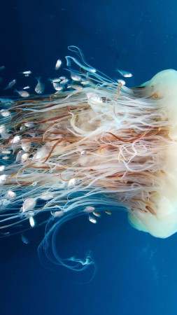 Jellyfish, Rangiroa, Pacific Ocean, diving, tourism