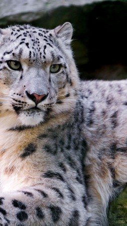 Snow leopard, wild, nature, eyes (vertical)