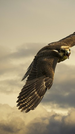 Hawk, 4k, HD wallpaper, sky, clouds, fly, gray (vertical)
