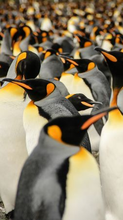 King penguins, South Georgia, birds, 2015 Sony World Photography Awards (vertical)