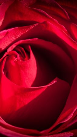 Rose, red, macro, flowers