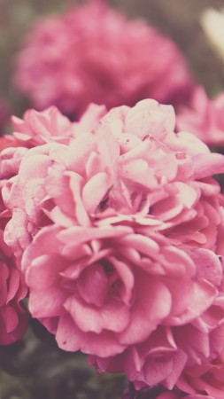 Roses, 4k, 5k wallpaper, 8k, flowers, pink (vertical)