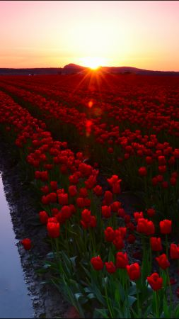 Skagit Valley, 4k, 5k wallpaper, 8k, Washington, USA, Tulip Fields, Sunset, travel, tourism, flowers (vertical)