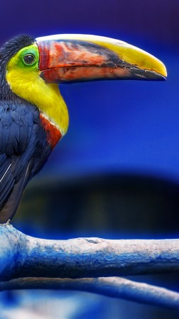 Toucan, bird, cute animals (vertical)