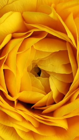 Rose, 4k, 5k wallpaper, flowers, yellow, macro (vertical)
