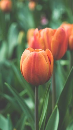 Tulips, 4k, 5k wallpaper, flowers, red, green (vertical)