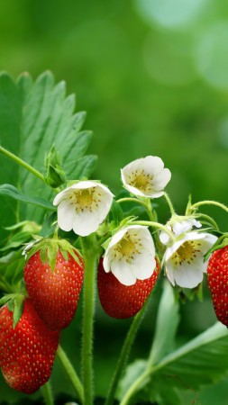 strawberries, greens, flowers, bokeh,  (vertical)