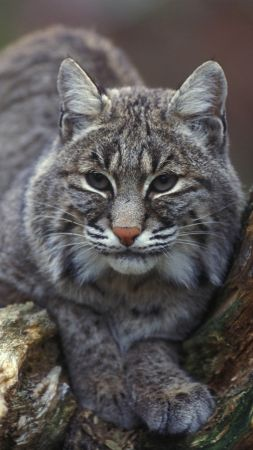 Bobcat, New York, USA (vertical)