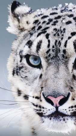 Snow Leopard, China, blue eyes, snow (vertical)