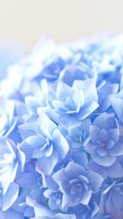 Hortensia, 5k, 4k wallpaper, blue (vertical)