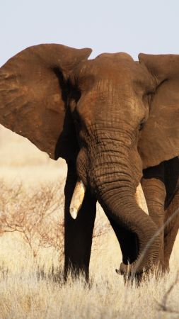 Elephant, Kruger National Park, Africa, wildlife (vertical)