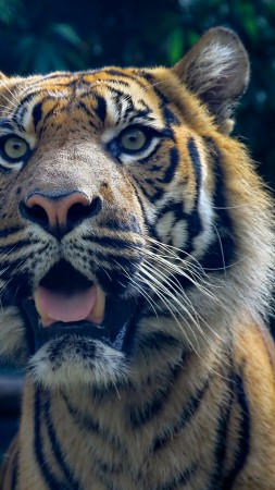 Tiger, 4k, HD wallpaper, Sumatran, amazing eyes, fur, look (vertical)
