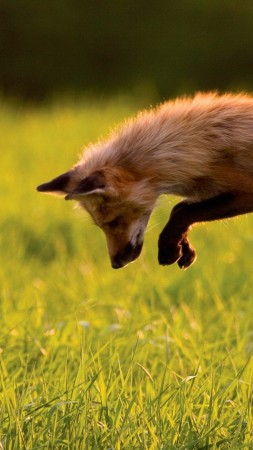 Red Fox, green grass, jumping, sunny day, wild nature (vertical)