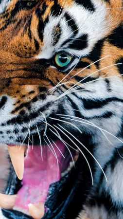 Tiger, snarling, eyes, fur (vertical)