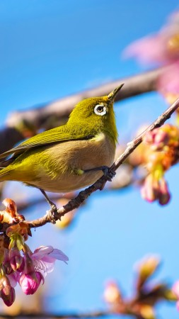 Japanese bird, White Eye, nature, flowers, spring, blue sky, sakura (vertical)