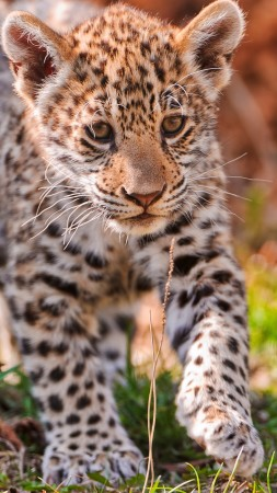 Jaguar, wild nature, cute, animal (vertical)