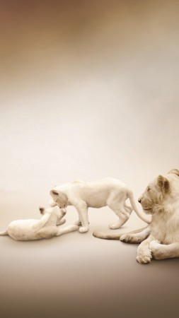 White lion, Lion Family, white background (vertical)