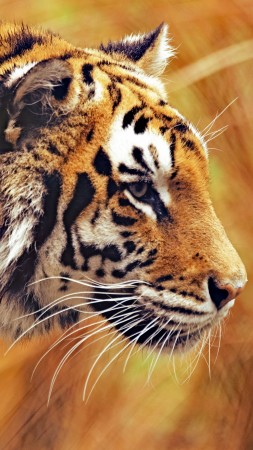 Bengal Tiger, 5k, 4k wallpaper, Grass, yellow, hunting (vertical)