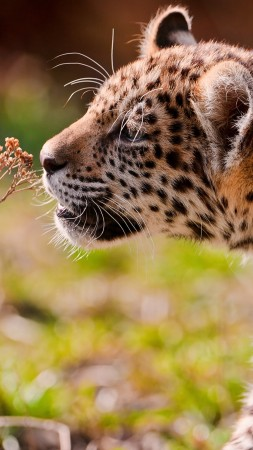 Leopard, cub, eyes, grass, walk